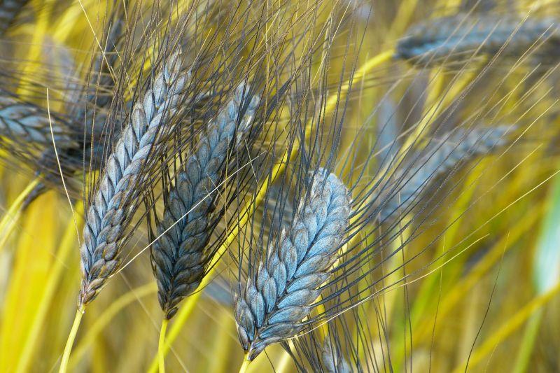 Emmer, Kamut, Chia-Samen: Ur-Getreide im Gesundheitscheck